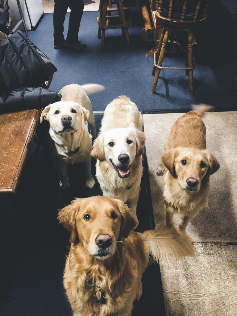 Four blonde dogs looking at a camera.